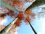 Turska gorapogled v krošnje dreves
