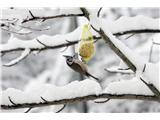 Hranjenje pticČopasta sinica