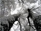 Debenji vrhtud zasnežena drevesa so lepa