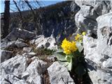 Ojstri vrh 1371mavriklji bujno cvetijo