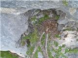 Javorca(Golte)gnezdo nad jamo v steni, po moje postovkino