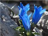 Katera rožca je to?Froelichov svišč - Savinjsko - Jezersko sedlo
