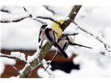 Hranjenje pticDolgorepke