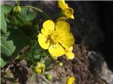 Katera rožca je to?Izrodna zlatica