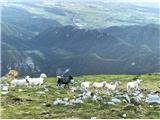 BegunjščicaNekaj ovčk pod vrhom