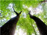 Debenji vrhpogled v krošnje dreves