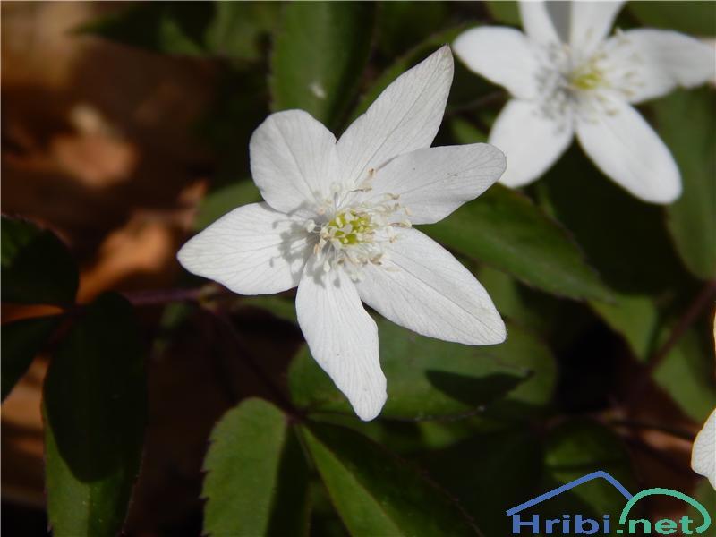 Trilistna vetrnica (Anemone trifolia) - SlikaTrilistna vetrnica (Anemone trifolia)