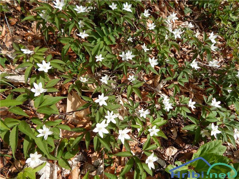 Trilistna vetrnica (Anemone trifolia) - PictureTrilistna vetrnica (Anemone trifolia)