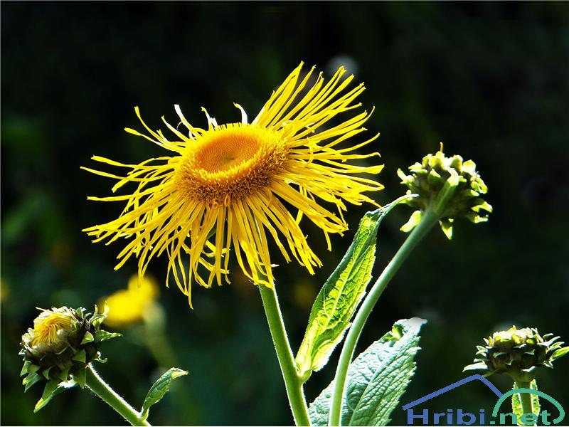 Navadna ognjica (Telekia speciosa) - PictureNavadna ognjica (Telekia speciosa), foto Gita.