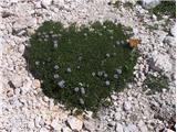 Metulj osatnik (Vanessa cardui) je pristal na srčastolistnih mračicah (Globularia cordifolia).