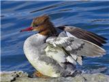 Hranjenje pticvelika žagarica