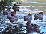 Hranjenje pticna Bledu