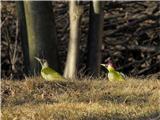 Hranjenje pticzelena žolna