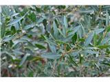 Katera rožca je to?Grmiček ozkolistna zelenika -spominja na oleander po listih.