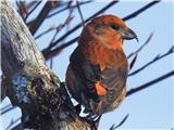 Hranjenje pticše bolj približan samček
