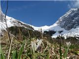 Kamniško sedlo- sončni vzhod2019.04.16.102 beli žafran in sedlo