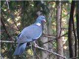 Dleskovec 1965 mdosti lepši kot navaden golob, grivar je bil