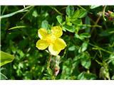 Katera rožca je to?Sončece ali popon.
