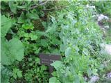 Katera rožca je to?Avstrijski divjakovec z botanične poti na Črno prst-še ni cvetel.Ima popolnoma drugačne liste .