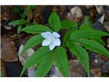 Katera rožca je to?Sedaj cveti trilistna veternica.
