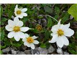 Katera rožca je to?prva alpska velesa letos