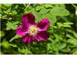 Katera rožca je to?kimastoplodni šipek močno rdeče barve