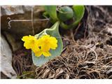Katera rožca je to?Celoten greben Macne pa je rumen od avriklov.