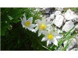 Rombonzdaj cvetijo