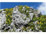 Katera rožca je to?znamenita skala na planini; kaj je lahko še lepšega?