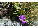Katera rožca je to?Piemontski jeglič-Primula pedemontana -ne raste pri nas.