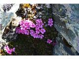 Katera rožca je to?Alpski oklep-Androsace alpina-pri nas ga ni.