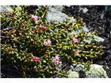 Katera rožca je to?Našel sem celo grmiček alpske azaleje-Loiseleuria procumbens. Pri nas jo nisem še videl.
