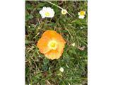 Katera rožca je to?Vmes se tudi oranžno obarva kot kernerjev v Karavankah.