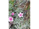 Katera rožca je to?Triglavska roža-cvetovi so še bolj osamljeni.