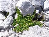 Katera rožca je to?Homulični kamnokreč-cvetovo so res čisto drugačni.