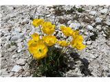 Visoki KaninNeverjeno veliko je teh rož. Rastejo dobesedno iz skal, brez opaznih zaplat zemlje