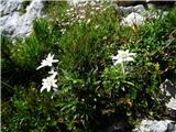 Vrbanove špice2019.08.10.52 Planika (Leontopodium alpinum)