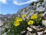 Vrbanove špice2019.08.10.199 Planinski popon (Helianthemum alpestre)