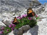 Vrbanove špice2019.08.10.203 metulja in brezstebelna lepnica (Silene acaulis)