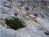 Vrbanove špice2019.08.10.214  Alpski pečnik (Armeria alpina)