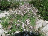 Vrbanove špice2019.08.10.36 drobceni cvetovi