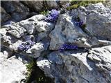 Krofička (2083m)bogastvo cvetja