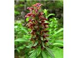 Pedicularis recutita