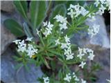 Navadna lakota (Galium mollugo)