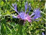 Mountain Bluets (Centaurea montana)