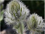 Kosmata škržolica (Hieracium villosum)
