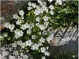 Planinski slanozor (Heliosperna alpestre)