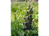 Turska preobjeda (Aconitum tauricum)