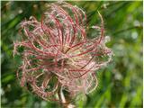 Gorska sretena (Geum montanum)