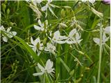 Navadni kosmuljek (Anthericum ramosum)